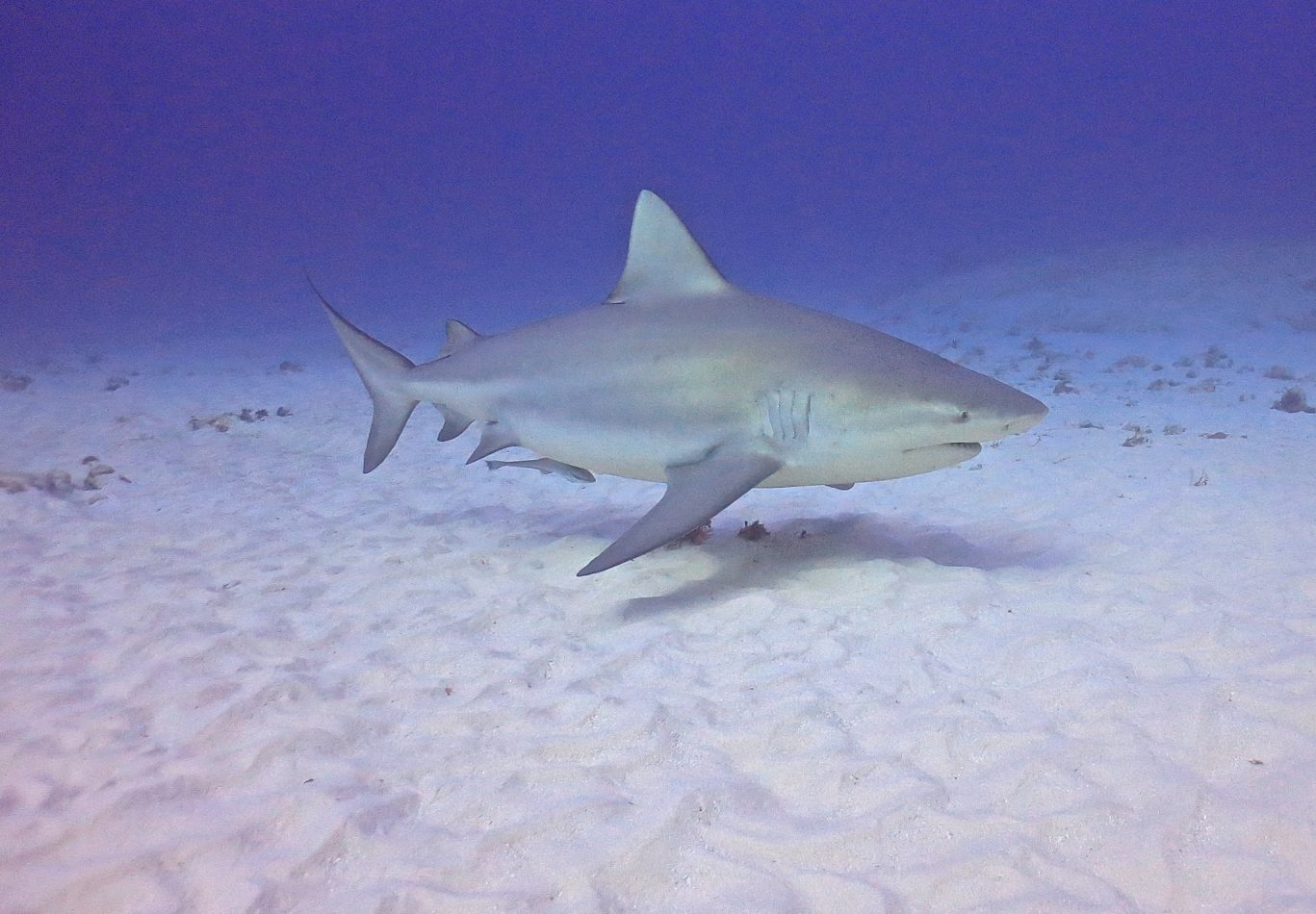Dive with Bull Sharks