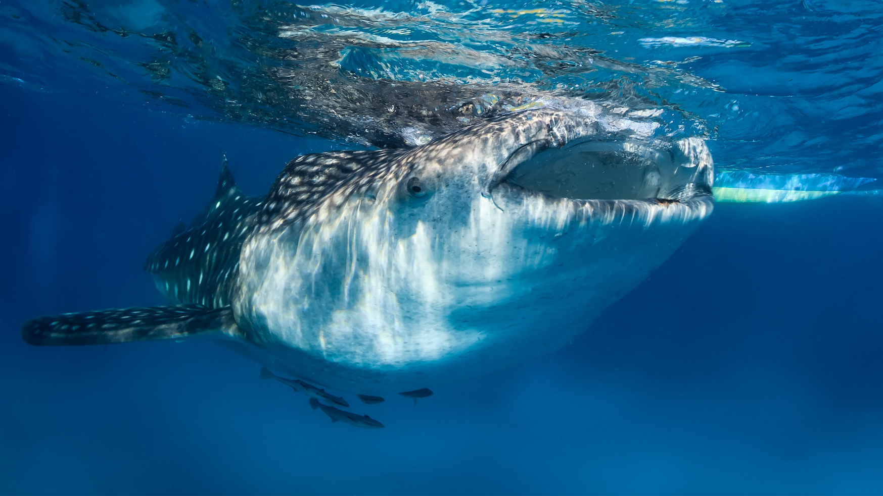 Whale Sharks Snorkel